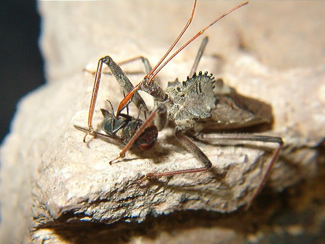 "Vector Spotlight: ""Wheel Bug"""